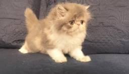 Gatos Persa/Pais com Pedigree Fife