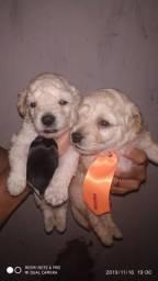 Filhotes de Poodle número 1 para reservar