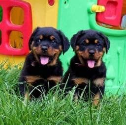 Lindos filhotes de Rottweiler à venda