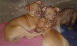 Pitbull filhotes 5 meses segurança para a sua casa