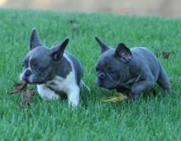 Bulldog francês exóticos