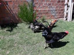 1 galo e 4 galinhas