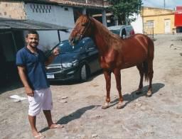 Cavalos alazão e tordilho. Filhotes de Pit Bull, portunidade!!!!!!!!