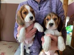 Beagle, machinhos e fêmeas com benefícios e garantias!