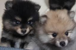 Lindos filhotes de Spitz Alemão, com pedigrees