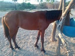 Cavalo Poutro Mestiço