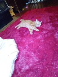 Gato persa procurando namorada como troca quero um filhote femea