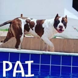Título do anúncio: Pitbull monster