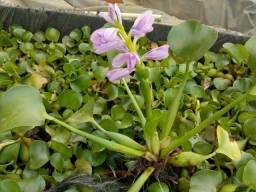 Plantas aquáticas: Alface d'água, Aguapé, Salvina, Ninfeia