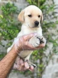 Título do anúncio: Labrador- Entrega Imediata!!