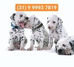 Título do anúncio: Canil filhotes selecionados, dálmatas, labrador, pastor alemão, boxer