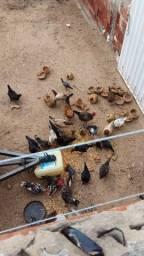 Frangos e galinha Garnizé