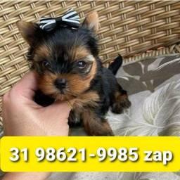Título do anúncio: Canil Filhotes Selecionados Cães BH Yorkshire Maltês Shihtzu Beagle Basset Lhasa
