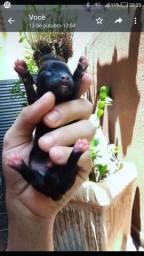 Título do anúncio: Chihuahua Pelo longo