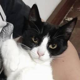 Adoção gatinha, castrada, para lares telados