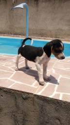 Título do anúncio: Filhote beagle