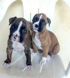 Lindos filhotes Boxer
