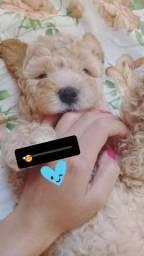 Poodle número 1