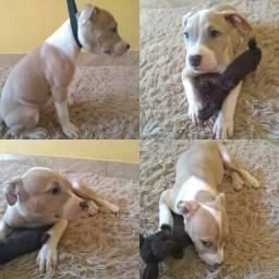 Filhotes Fêmeas de American Staffordshire Terrier