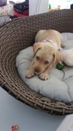 Labrador com Garantia e Procedência