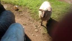 Troco ovelha por terneira