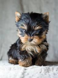 Yorkshire Terrier tamanhos micro e padrão, com Pedigree!