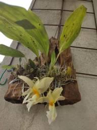 Orquídeas stanhopea nos  troncos