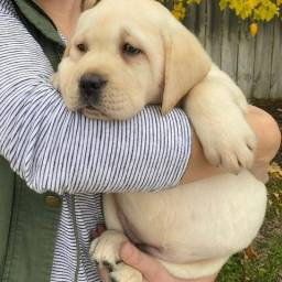 Título do anúncio: Belíssimos filhotes de Labrador