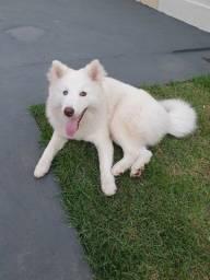 Título do anúncio: Husky Siberiano Fêmea 6 meses