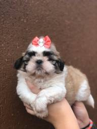 Shih tzu sua nova princesinha