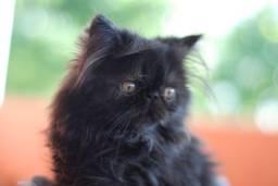 Lindo filhote persa Black