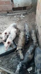 Porcos 15 ,00 Reais Kilo