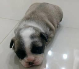 Bulldog frances fêmea