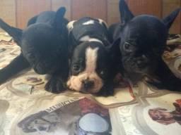 Linda ninhada de Bulldog francês vacinados com 45 dias pedigree