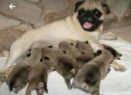 Lindos filhotes de Pug!!!