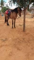 Cavalo meio sangue