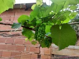 Mudas de uvas