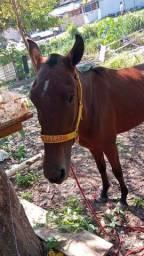 Cavalo mangalarga mineiro