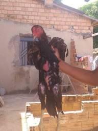 Título do anúncio: Casal de frango índio carioca
