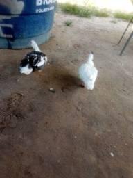 Título do anúncio: Vendo casal de patos, facilito entrega