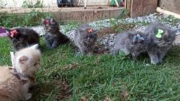 Título do anúncio: Gatos persa