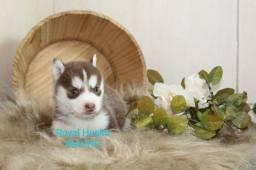 Magníficos filhotes de Husky Siberiano Disponível para Reserva