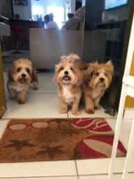 Título do anúncio: Três filhotes disponíveis lhasa apso