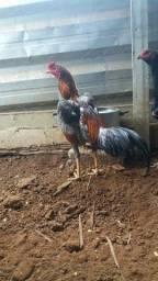Título do anúncio: Vendo galinha e galo pintinhos