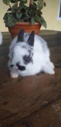 Coelho anão Netherland dwarf - menor raça de coelho do mundo!