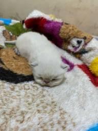 Título do anúncio: Gato persa padrão show himalaio