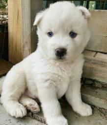Título do anúncio: Husky Siberiano