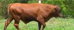 Touros Senepol PO em 36 pagamentos (2 animais ou mais frete gratuito para todo o Brasil)