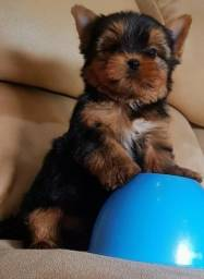 Yorkshire terrier baby face miudinho top