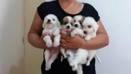 PROMOÇÃO shih-tzu com poodle mini aceito cartão leia